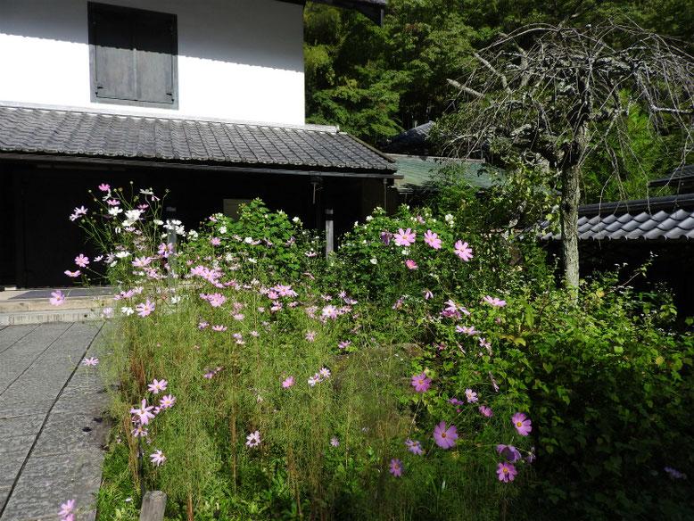 東慶寺松ヶ岡宝蔵前の、コスモス 170919撮影