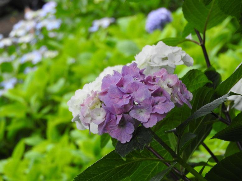 紫陽花(あじさい) 鎌倉長谷寺 170615撮影