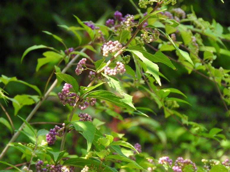 紫式部の花実(むらさきしきぶ) 浄智寺 180918撮影