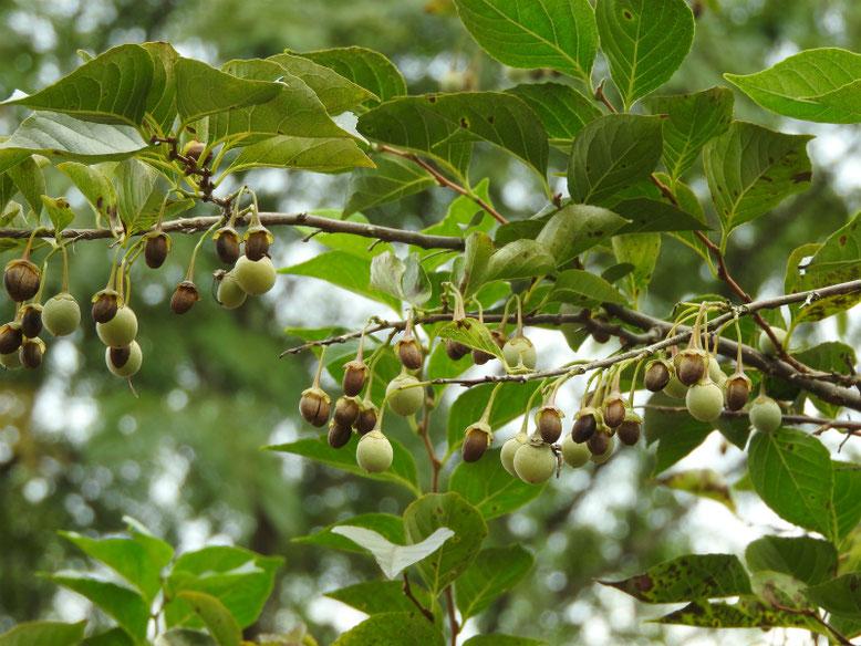 エゴノキの実(萵苣の木の実) 散策路 170915撮影