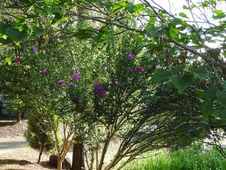 木槿(むくげ)八重咲き 散策路 170715撮影