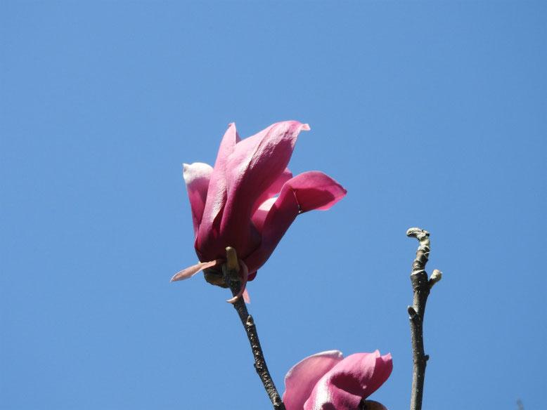 紫木蓮(しもくれん) 散策路 2020/03/26撮影