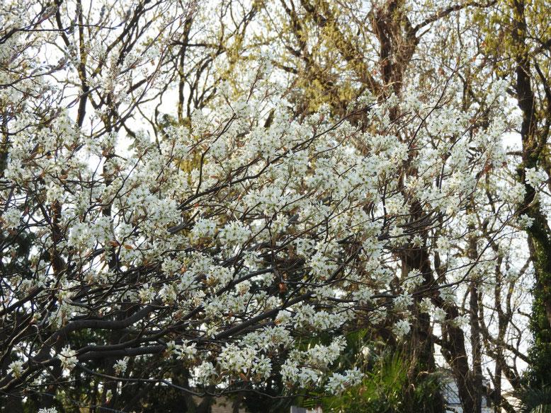 西洋采振り木(せいようさいふりぼく) 散策路 2019/04/06撮影