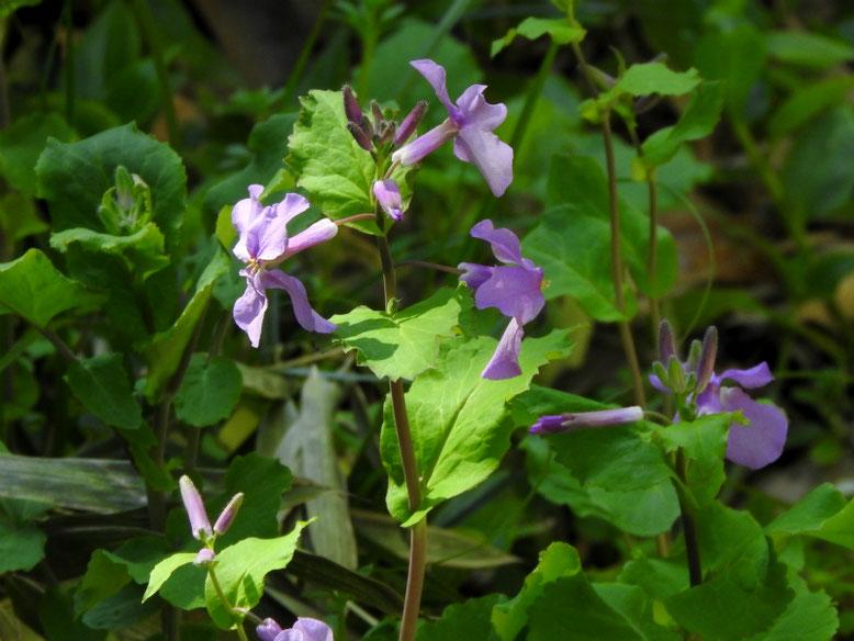 紫花菜(むらさきはなな) 親水緑道 2021/03/06撮影