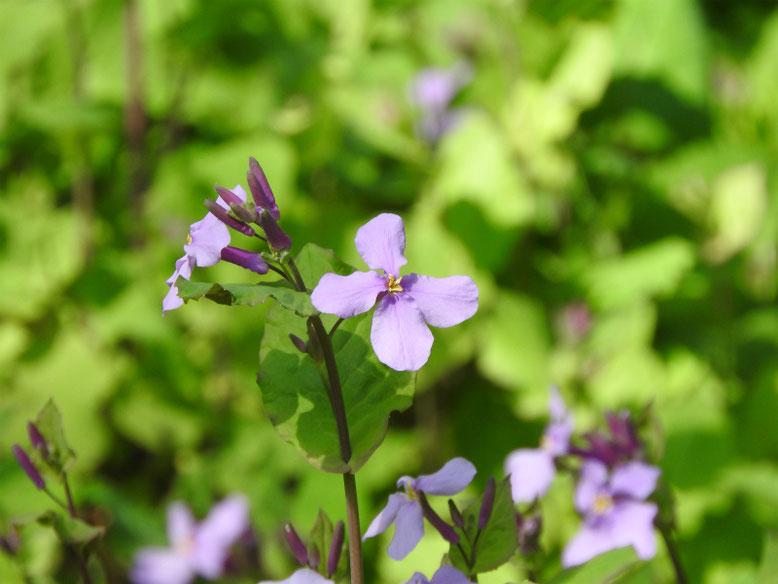 紫花菜(むらさきはなな) 散策路 170312撮影