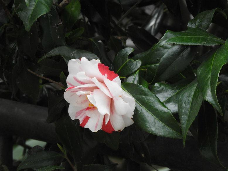 春山茶花(さざんか)散策路 180324撮影