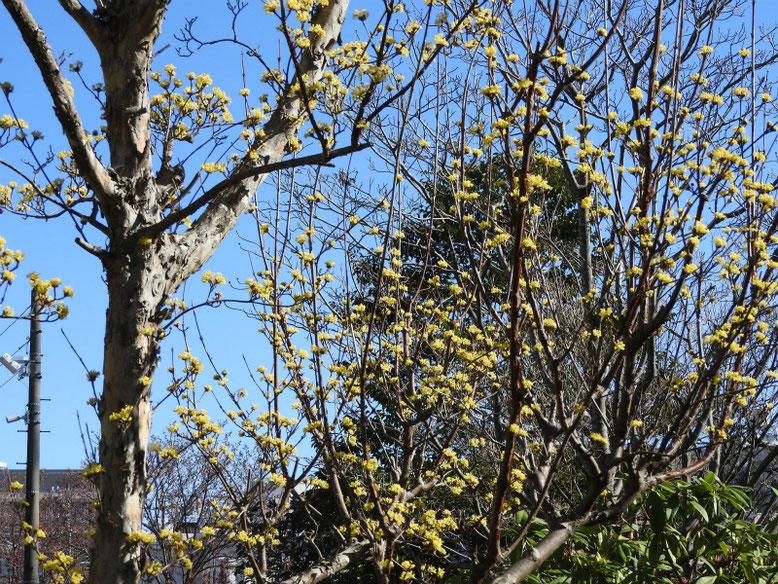 山茱萸(さんしゅゆ) 散策路公園 2020/03/11撮影