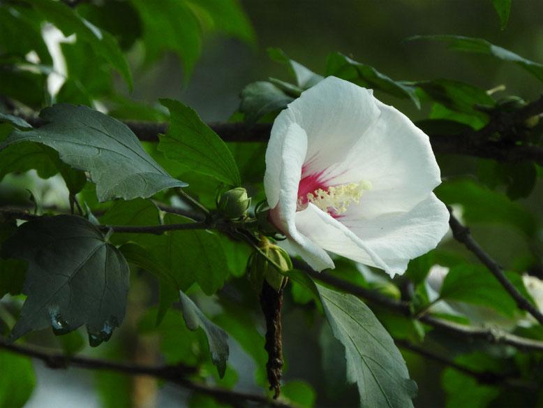 木槿一重咲き(むくげ) 散策路 2021/07/10撮影
