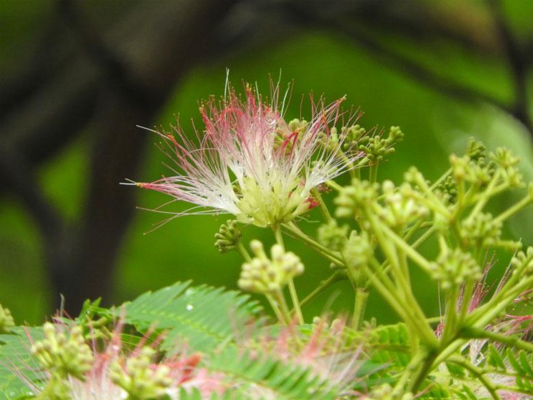 合歓の木の花(ねむのき) 散策路 160609撮影