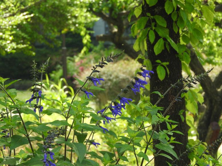 青紫ハーブセージ 散策路 180524撮影