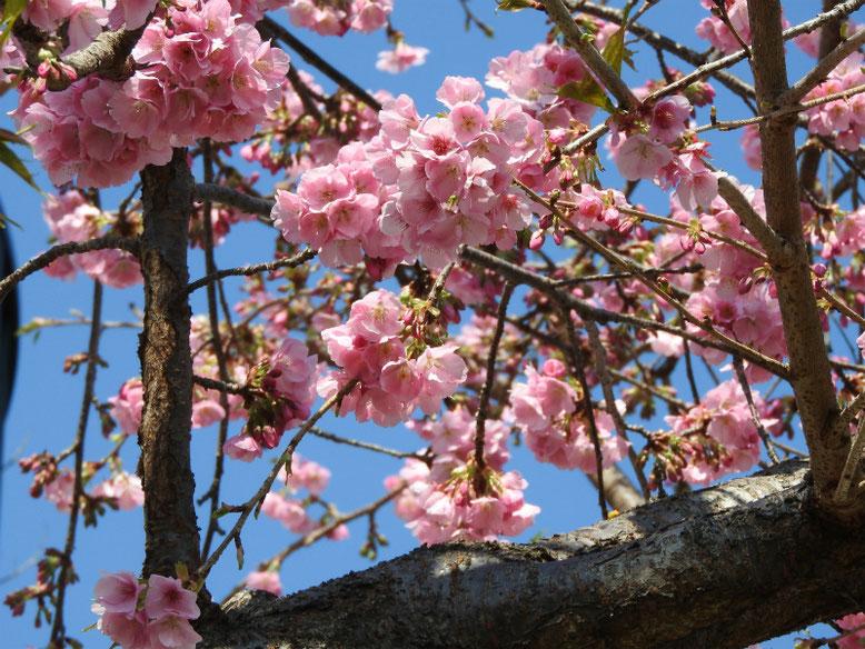 寒桜(かんざくら) 散策路 2019/03/05撮影