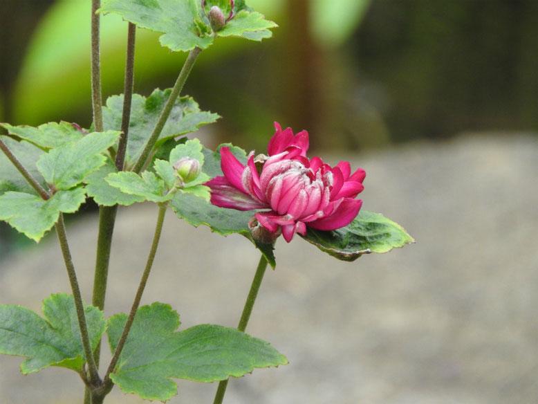 秋明菊(しゅうめいぎく)赤 長谷寺 171005撮影