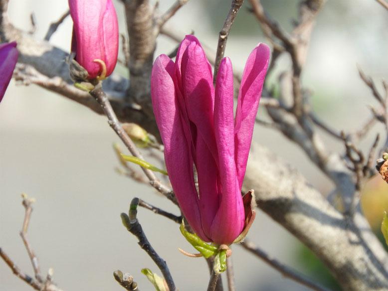 紫木蓮(マグノリア) アメリカ山公園 170405撮影