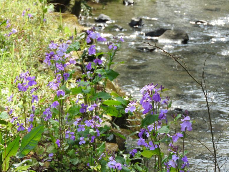 紫花菜(むらさきはなな) 散策路 170325撮影
