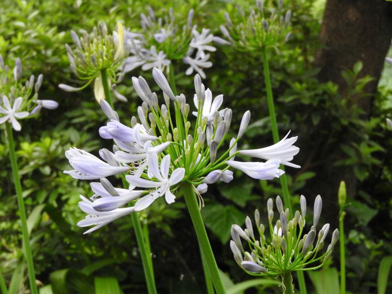 紫君子蘭(むらさきくんしらん) 散策路 160615撮影