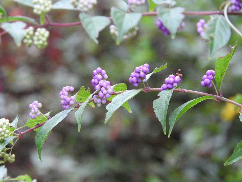 紫式部の花実(むらさきしきぶ) 散策路 180902撮影