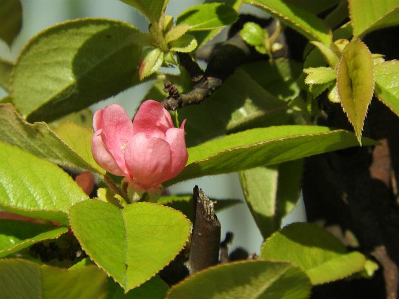 花梨の花(かりん) 散策路 2019/04/20撮影