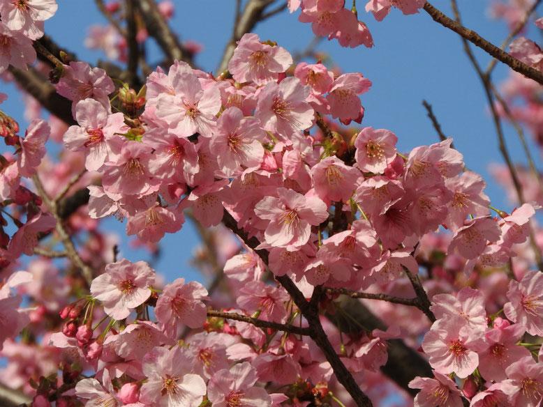 陽光桜(ようこうざくら) 散策路公園 2021/03/14撮影