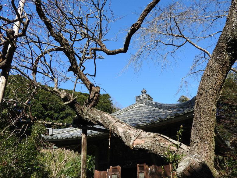鎌倉瑞泉寺の紅梅・白梅 170111撮影