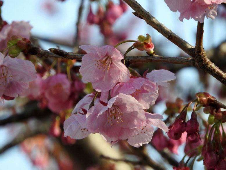 陽光桜(ようこうざくら) 散策路公園 2019/03/20撮影