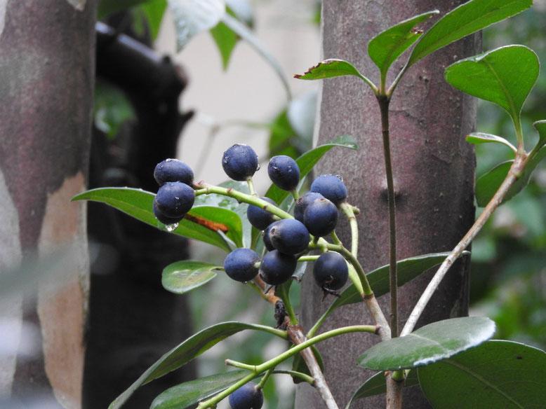 車輪梅の実(しゃりんばいのみ) 実家の庭 161111撮影