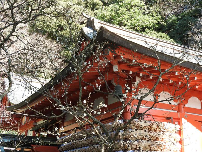白梅 荏柄天神社本殿 170111撮影