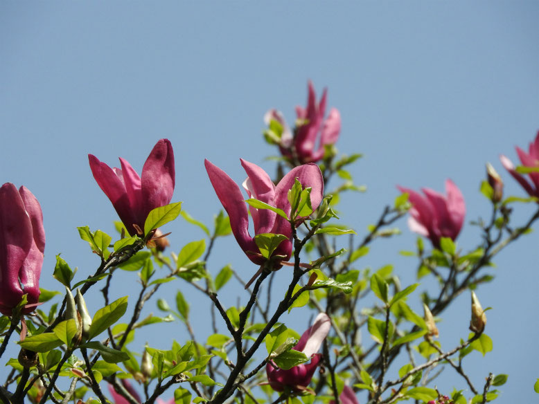 紫木蓮(しもくれん) 親水緑道 2021/03/31撮影