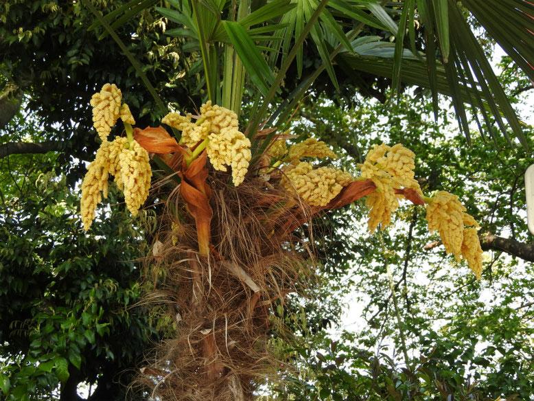 棕櫚の花(しゅろ) 散策路 170430撮影