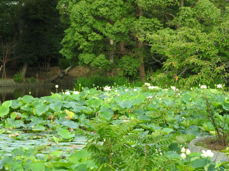 蓮の花白(はすのはな) 鎌倉八幡宮平家池 160728撮影