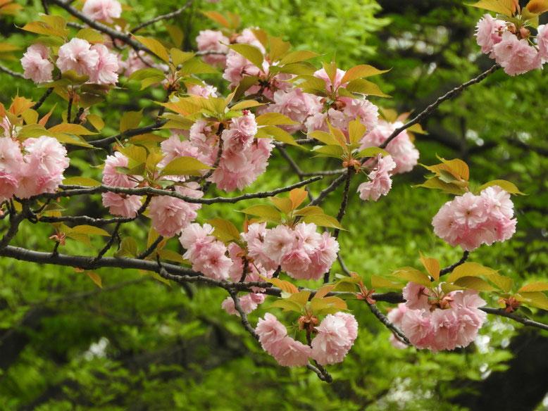 八重桜(やえざくら) 散策路 170421撮影