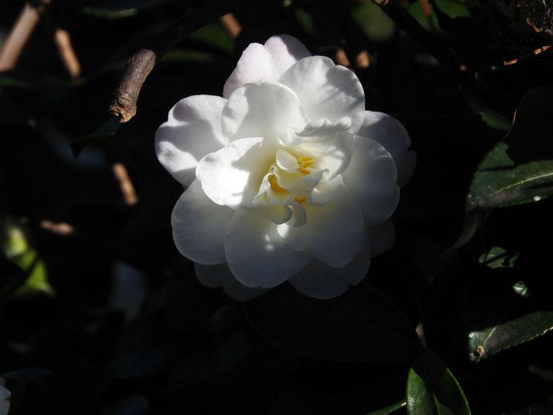 山茶花(さざんか)白 散策路 161112撮影