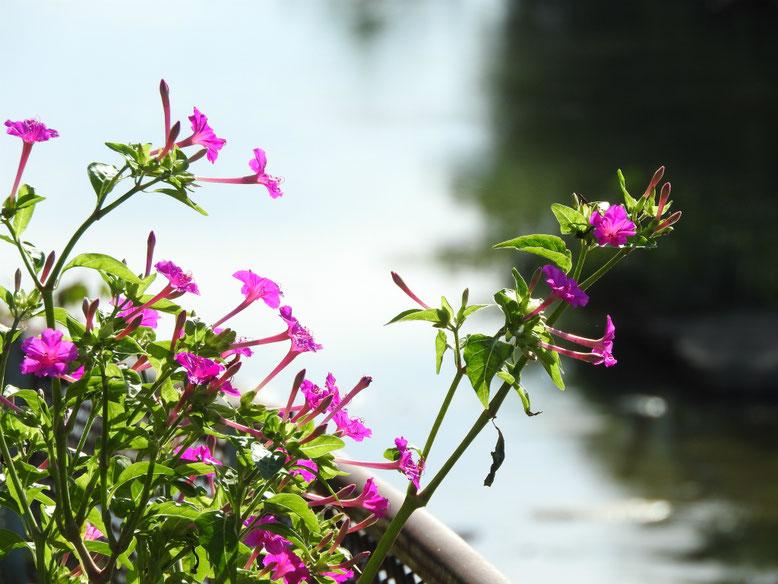 白粉花(おしろいばな)散策路 180818撮影