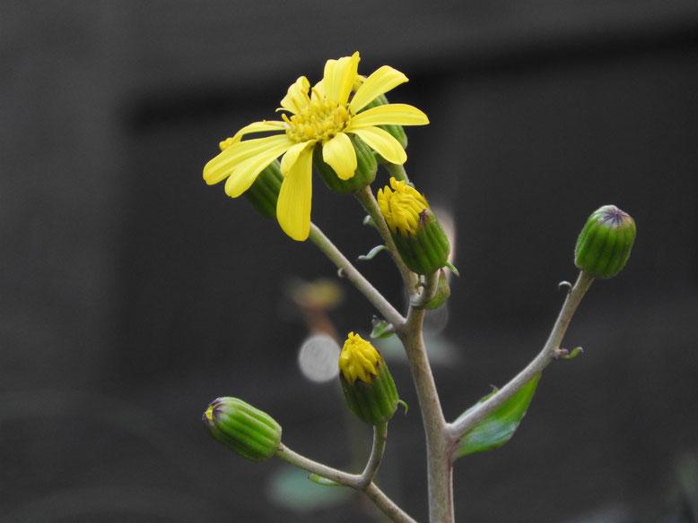 石蕗の花(つわ) 臨済寺 161126撮影