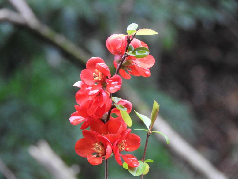 木瓜の花(ぼけ)緋木瓜 散策路 160402撮影
