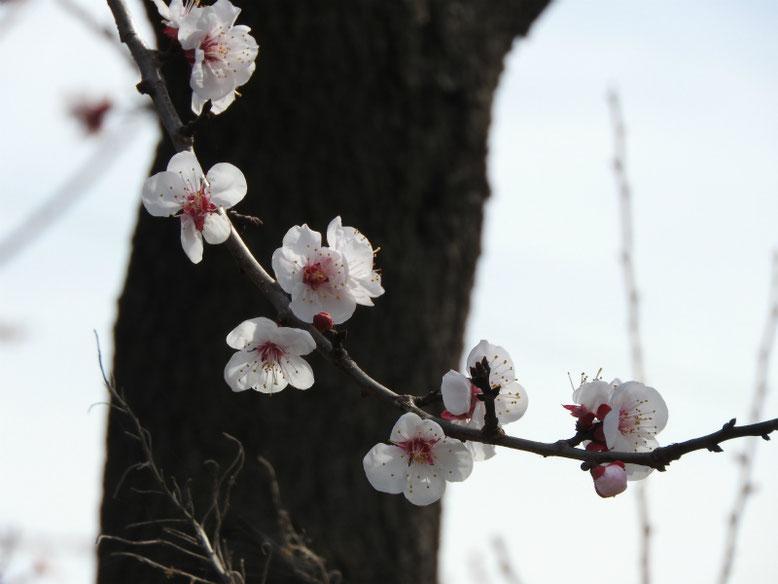 杏の実(あんず) 散策路 2019/03/22撮影
