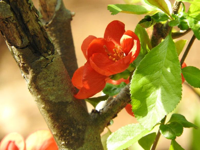 木瓜の花(ぼけ) 散策路 170320撮影
