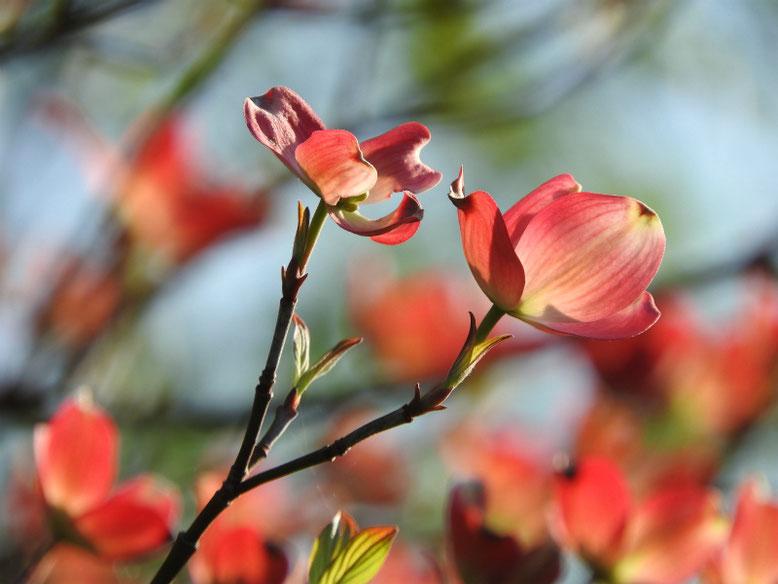 ハナミズキ(薄紅色) 散策路 180407撮影