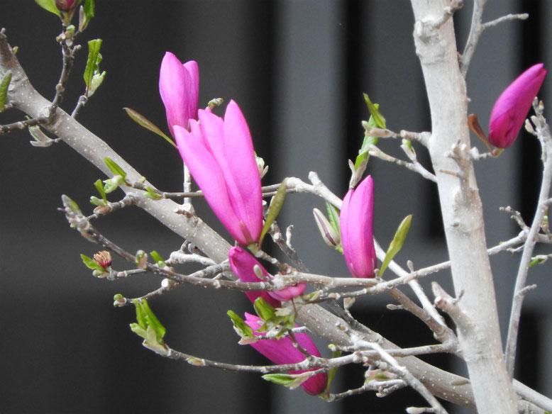 紫木蓮(マグノリア) 散策路 160402撮影撮影