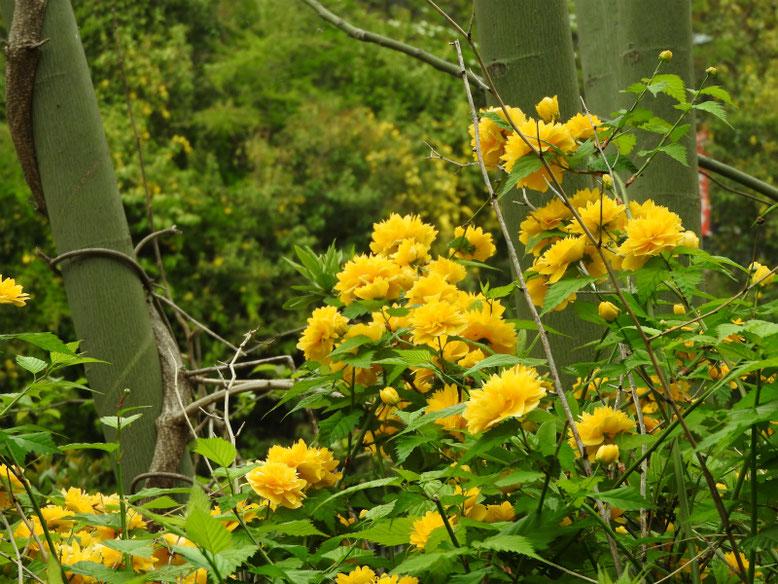 山吹(やまぶき) 八重咲き 散策路 170424撮影
