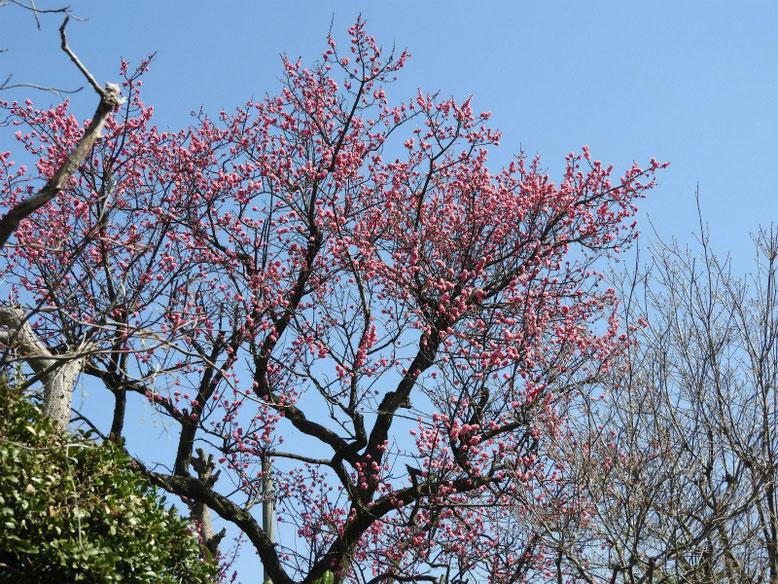 花桃の花(はなもも) 散策路 180314撮影