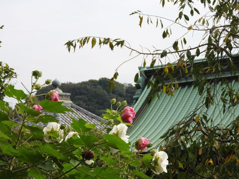 酔芙蓉(すいふよう) 鎌倉長谷寺 161002撮影