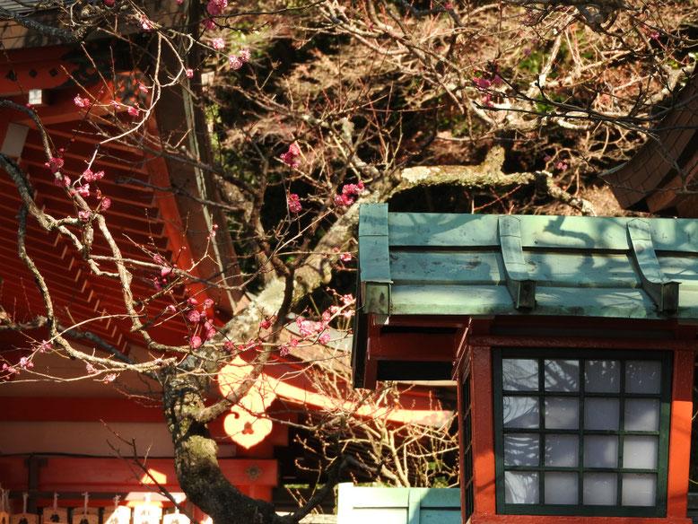 紅梅 鎌倉荏柄天神社 170111撮影