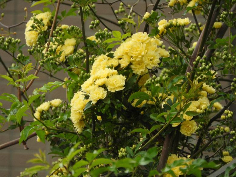 木香薔薇(もっこうばら)黄色 散策路 170424撮影