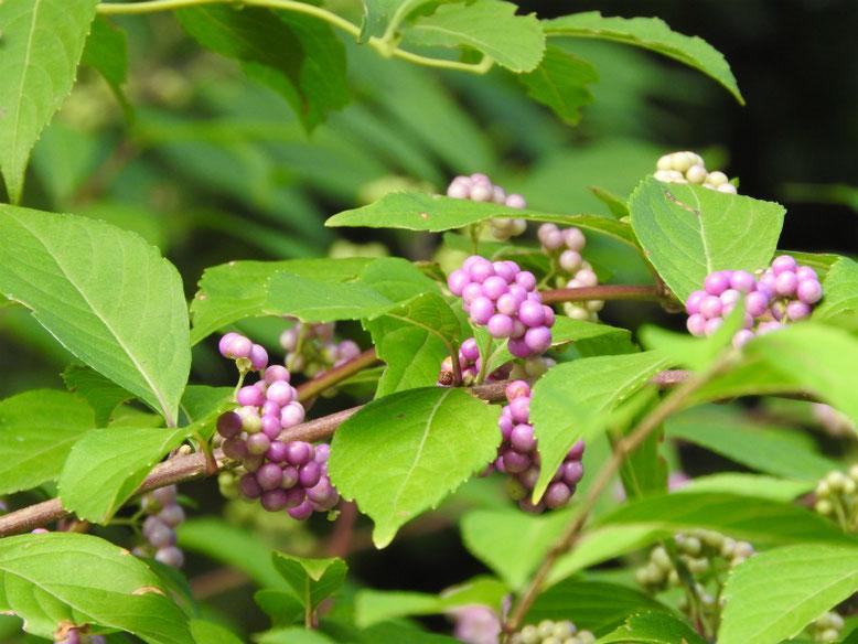 紫式部の花実(むらさきしきぶ) 散策路 170903撮影