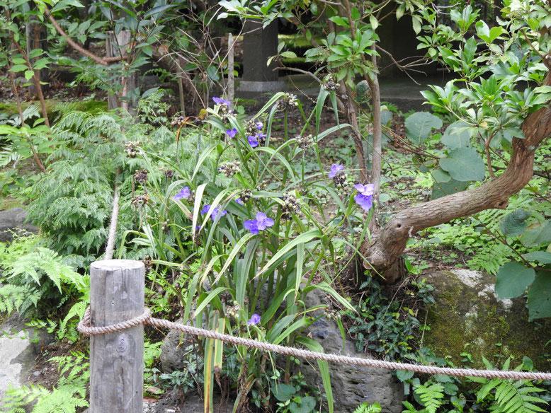 紫露草(むらさきつゆくさ) 鎌倉瑞泉寺 160728撮影