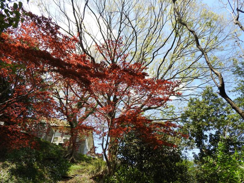 春もみじ 散策路 2019/04/14撮影