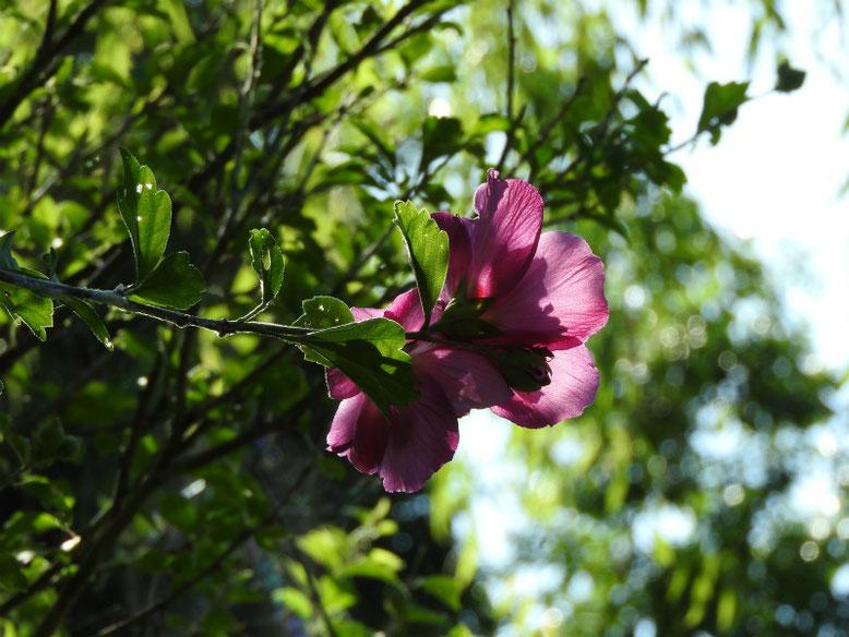 木槿(むくげ)八重 散策路 180710撮影