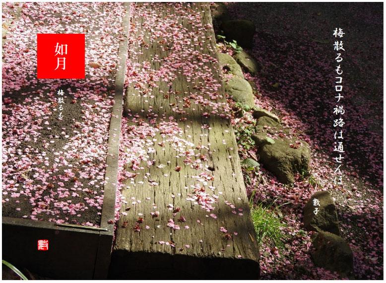 梅散るも 2021/02/18制作 緑道の紅梅