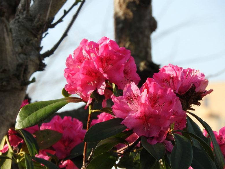 西洋石楠花(せいようしゃくなげ) 散策路公園 2021/03/24撮影