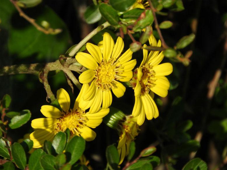 石蕗の花(つわぶき) 散策路 171109撮影